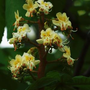 Каштан в цветении грандиозен - таинственен и просто скромен!