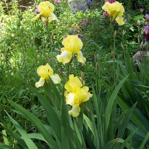 Жёлтые ирисы радуют солнечным цветом