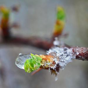 Слеза зимы…