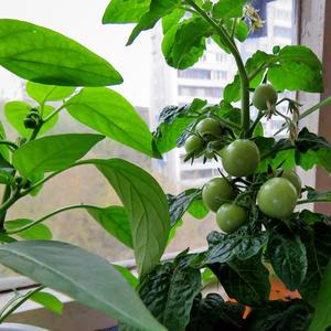 Апрельские помидорки