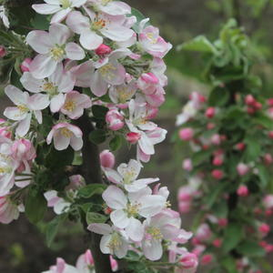 Колоновидная яблоня в цвету