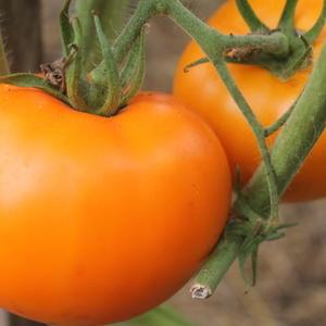 Оранжевый великан, мясистый и урожайный