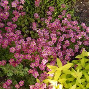 Камнеломка в цвету