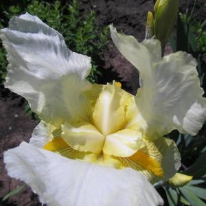 Ирис распахнул свои крылья навстречу весне