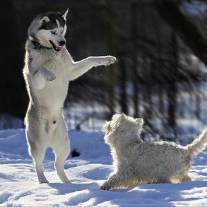 Собаки на даче, или Дирижер