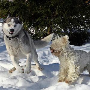 Собаки на даче, или взаимная любовь
