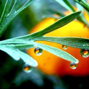 Эшшольция в каплях дождя