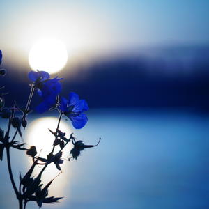 голубые цветы на закате