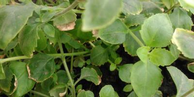 У бакопы сохнут края листьев, подскажите почему?