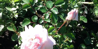 Как мне поступить с розой?