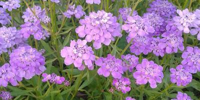 Как называются эти цветы?