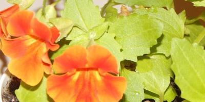 Помогите, пожалуйста, определить что за растение и как за ним лучше ухаживать?