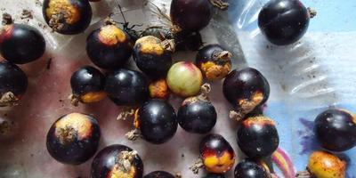 Желтые пятна на ягодах черной смородины. Что делать?