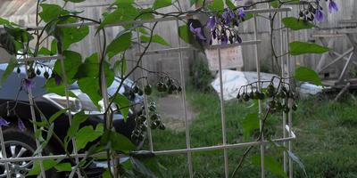 Подскажите, что за растение растет у меня на огороде?