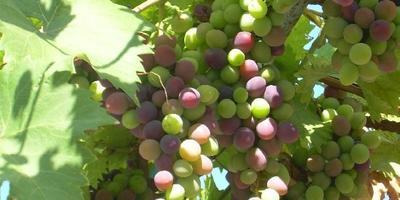 На память о виноградном лете