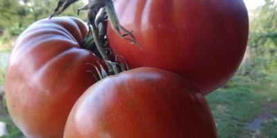 Крупная кисть любимых томатов
