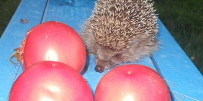 Мы ни на что не претендуем, хотим только показать, какие выросли у нас чудо-помидоры