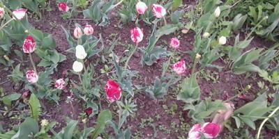 Какое должно быть расстояние при посадке тюльпанов?