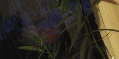 Подскажите, пожалуйста, как называется этот цветущий кустик?