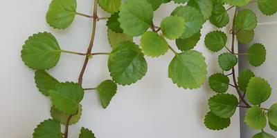Помогите определить комнатное растение