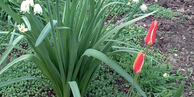 Как зовут этот тюльпан?
