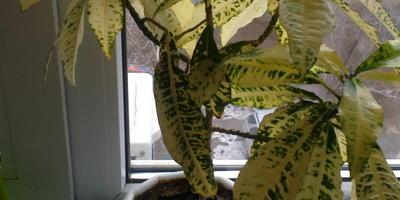 Будьте добры, что это за растение? И похоже, что оно болеет. Что посоветуете?
