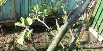 Почему у яблони скручиваются листья?