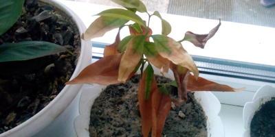 Сохнут листья личи и граната. В чем причина?