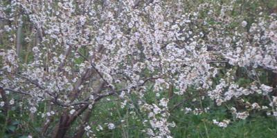 Помогите определить название цветов и сорт вишни
