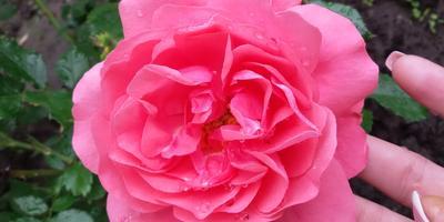 Какого сорта роза?