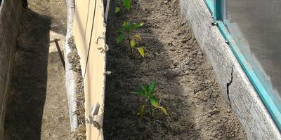 Пожелтели листья у перцев в теплице, нужно ли их притенять?