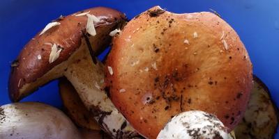 Подскажите, что это за грибы?