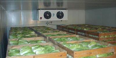 Выгодно ли хранить и продавать пекинскую капусту?