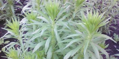 Подскажите, пожалуйста, это что за растение?