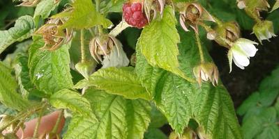 Уже второй год ягоды малины такие неполные. В чем причина?