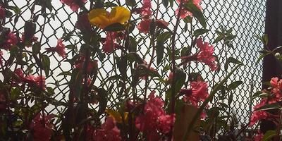 Подскажите, что за растение с розовыми цветочками