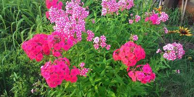 Почему появились чисто розовые соцветия у флокса и что с этим делать?