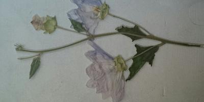 Пожалуйста, определите название растения