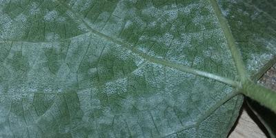 Подскажите, чем заболел виноград и как его лечить?
