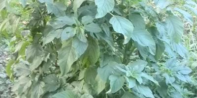 Семена из Китая. Должен был быть георгин, а выросло это. Помогите опознать