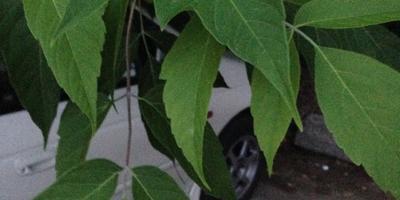 Помогите определить название дерева