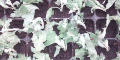 Почему болеют черенки хризантемы?