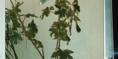 Подскажите, пожалуйста, название растения, как его вылечить?