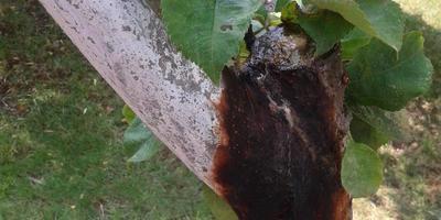 Помогите вылечить яблони и определить вредителей