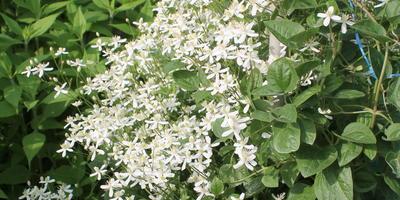 Помогите определить название растения. Можно ли его использовать для декорирования беседки?