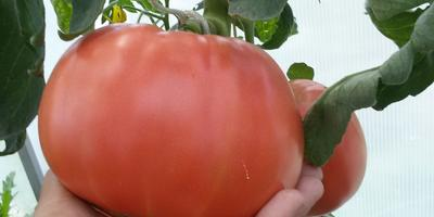 Мои большие помидоры