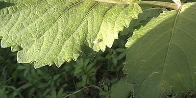 """Появилась зеленоватая мелкая """"муха"""", высасывает сок из бутонов, листьев. Как бороться?"""