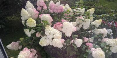 Когда срезать соцветия гортензии метельчатой для сухого букета?