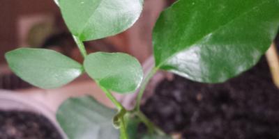 Помогите определить, что за растение? Привезла семена из Индии