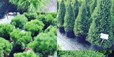 Сосны и ели со скидкой в Садовом Центре Gardens!!!